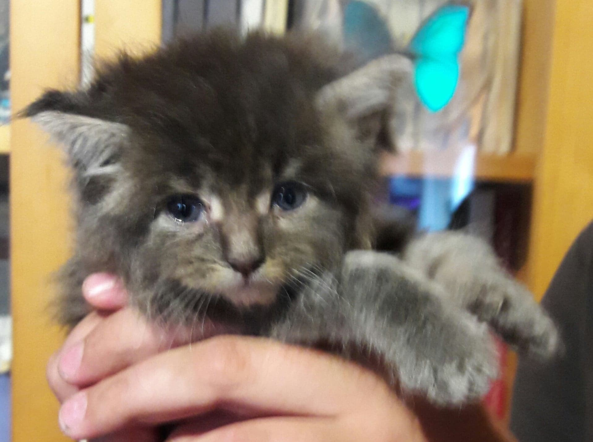 Massif Chaton Maine Coon A Reserver Annonce De Chat Chaton Maine Coon A Vendre Pepan